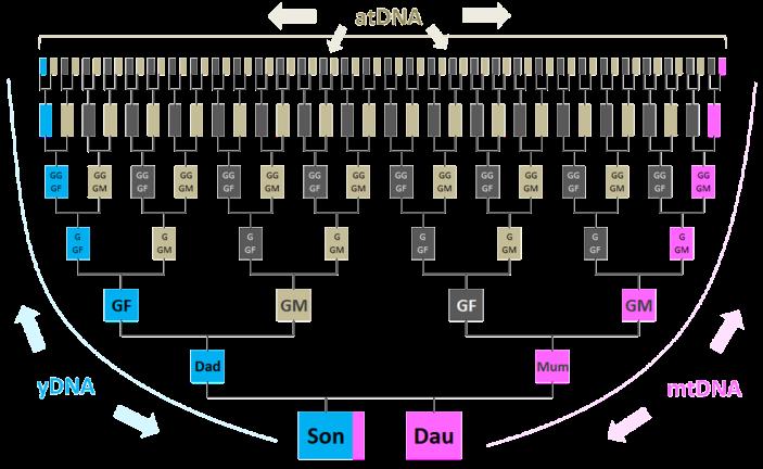 Pedigree showing types of DNA tests for genealogy | genealogy ...