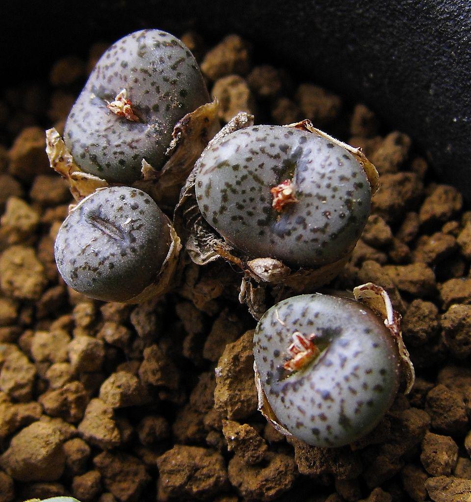 Conophytum obcordellum ssp stenandrum E Dornkraal 20 seeds