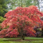 Hot Weather Japanese Maples: Learn About Zone 9 Japanese Maple Trees #japanesemaple