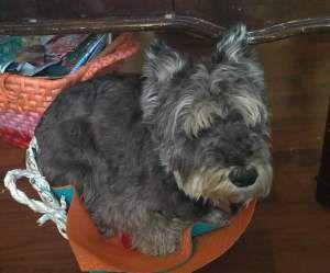 Adopt Jamal Adopted On Petfinder Schnauzer Dogs Dogs Miniature Schnauzer