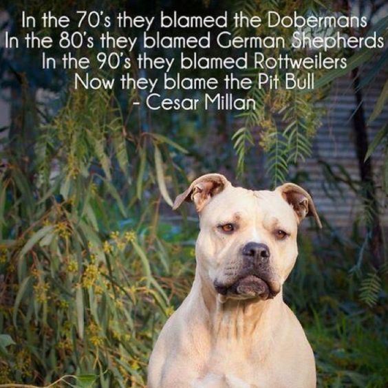 Cesar Milan Quote About Pitbull
