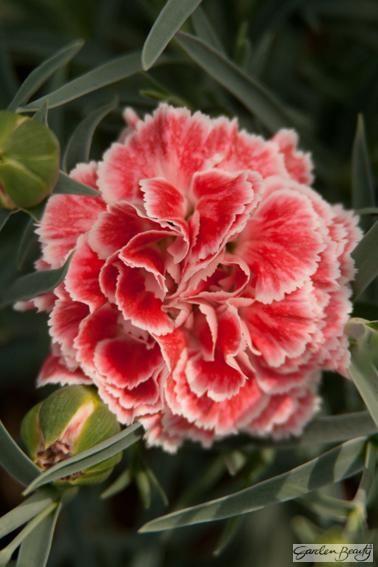 Dianthus Coral Reef Flores Plantas Con Flores Jardines Con Flores