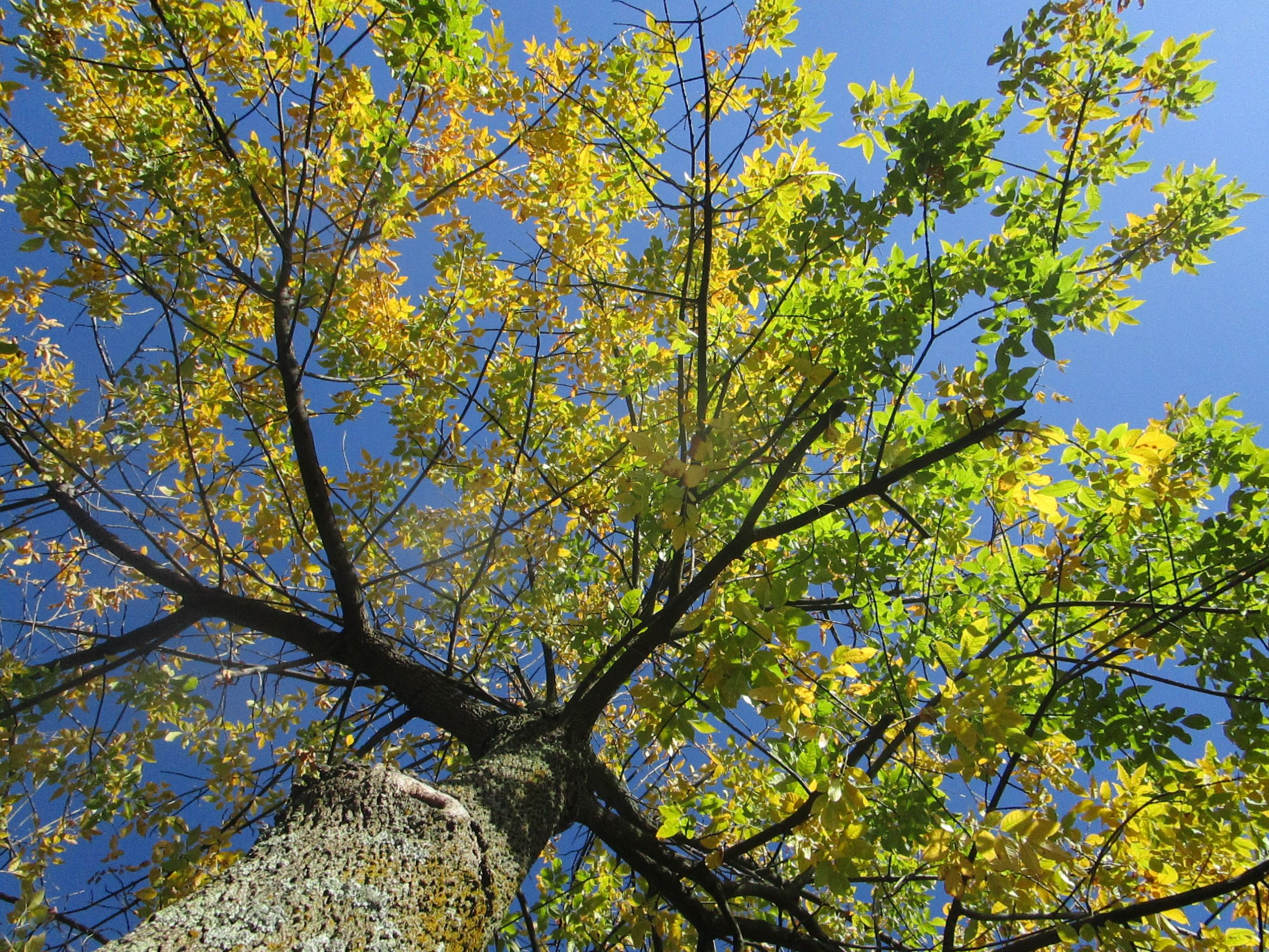 black ash tree fall colors - Google Search | Trees | Pinterest | Ash ...