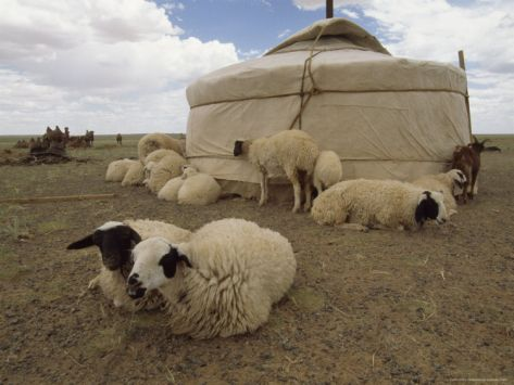 Native Housing Felt Tent or Yurt and Sheep of Mongolian Sheep Ranchers & Native Housing Felt Tent or Yurt and Sheep of Mongolian Sheep ...