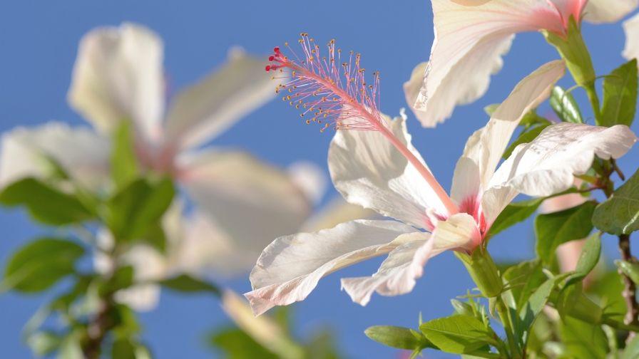 Beautiful Hibiscus Wallpaper Download Hd Collection Wallpaper Downloads Hd Wallpaper Hibiscus