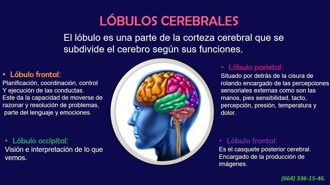 Lobulos Cerebrales Lobulos Cerebrales Corteza Cerebral Lobulo Frontal