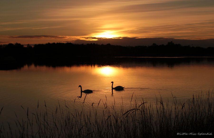 Swanny Sunset by Little-Miss-Splendid