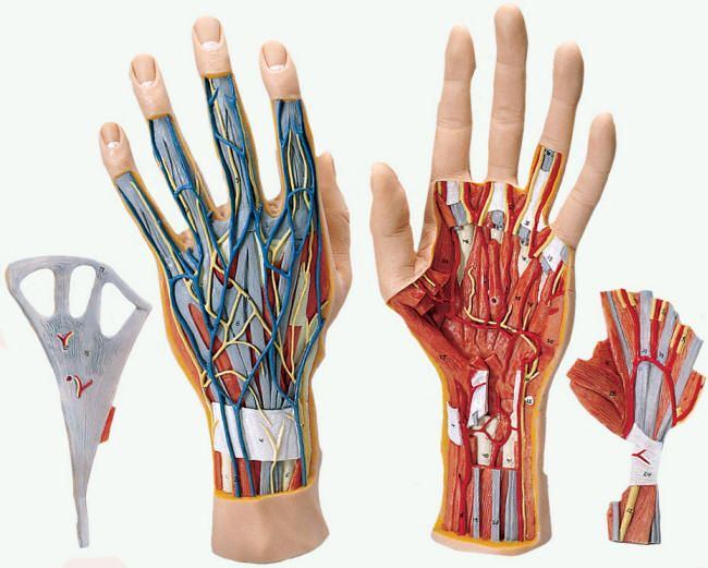 Hand Bone And Tendon Chart Part Internal Hand Structure Full Size