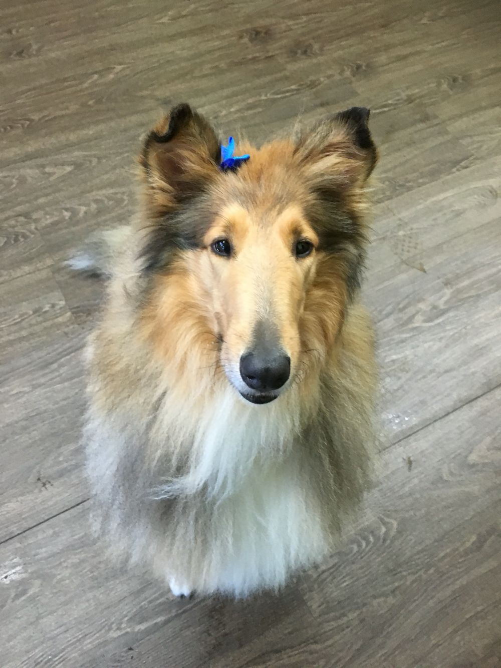 Sable Rough Collie Fresh From The Groomers With A Lovely Blue Bow