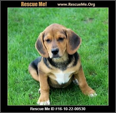 Mojo 100 Mojo Is A 12wk Old Neutered Male Beagle Aussie Mixed