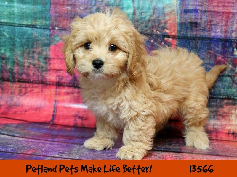 Cavachon Cavachon Cute Puppies Pets