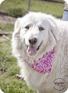Iola Tx Great Pyrenees Meet Marcia A Dog For Adoption Http