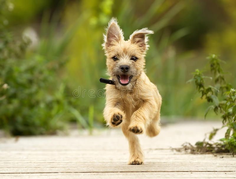 Cairn Terrier Puppy Pedigree Dog Outdoors On A Sunny Summer Day