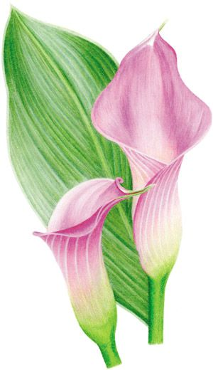 Burnishing With Colored Pencil A Demonstration By Gary Greene Color Pencil Art Flower Drawing Flower Art