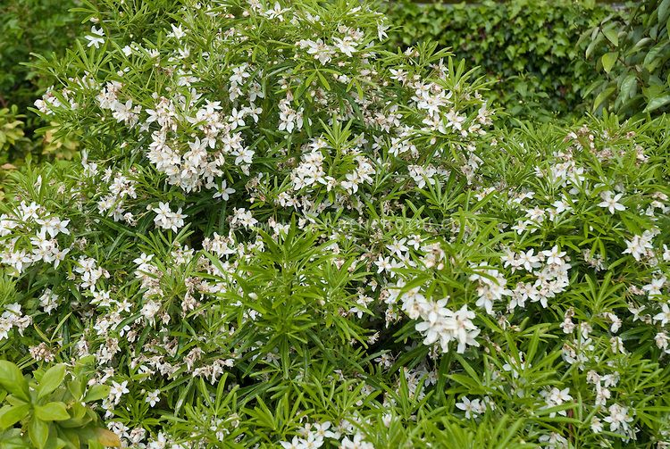 Choisya ternata aztec pearl choisya aztec pearl white flowering choisya ternata aztec pearl choisya aztec pearl white flowering shrub bush in spring mightylinksfo Gallery