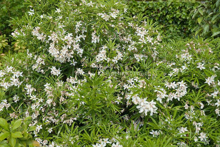 white flowering shrubs choisya ternata aztec pearl choisya 39 aztec pearl 39 white