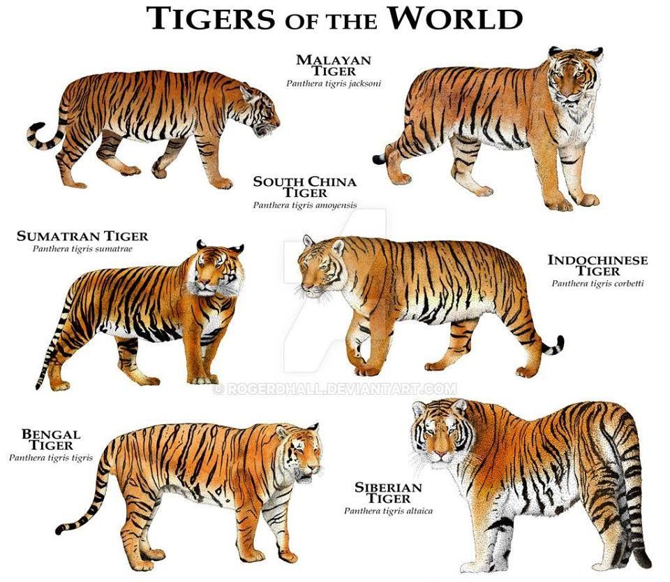 Types of tigers Tiger species, Siberian tiger, Animals