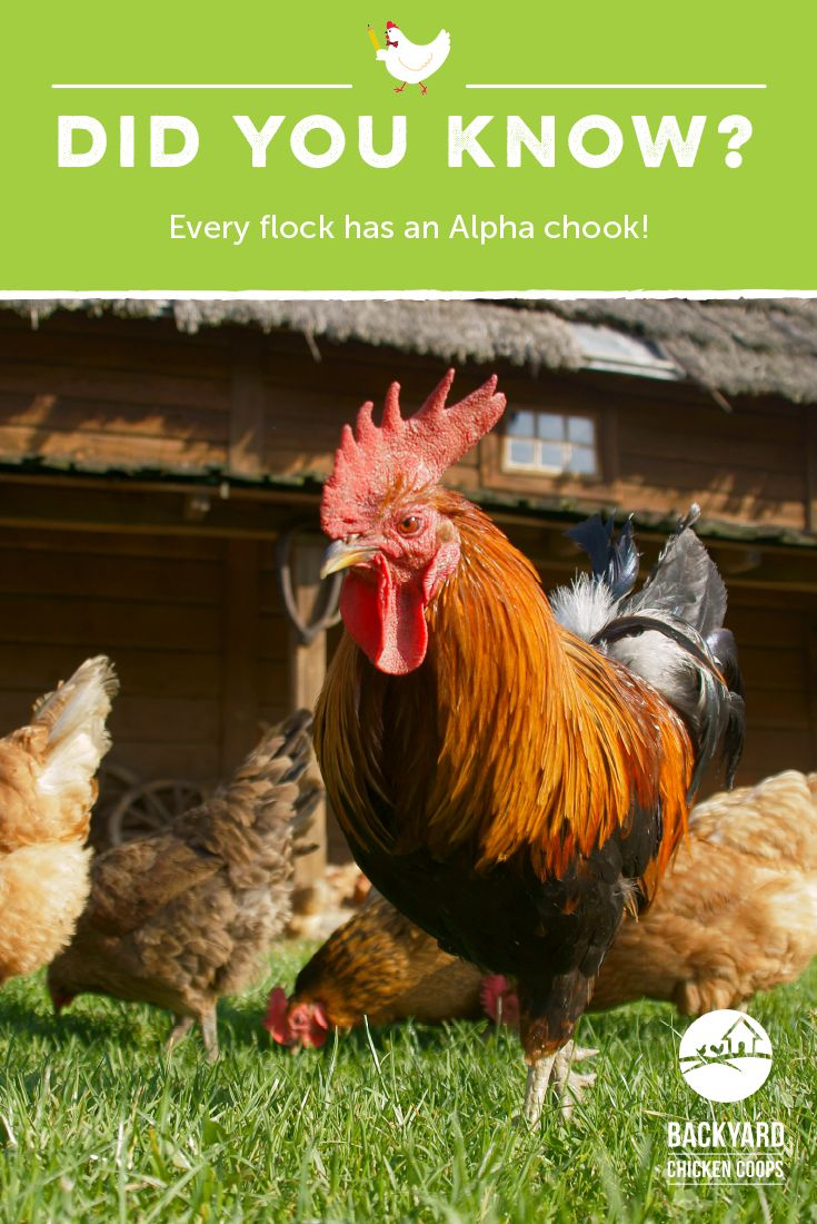 Every flock has an Alpha chook! Learn more about chickens ...