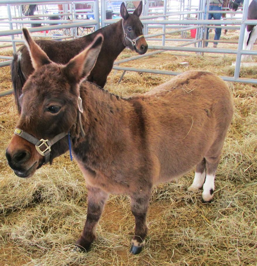 Mini Mules Columbia, TN 2015 Columbia, Hometown, Tennessee