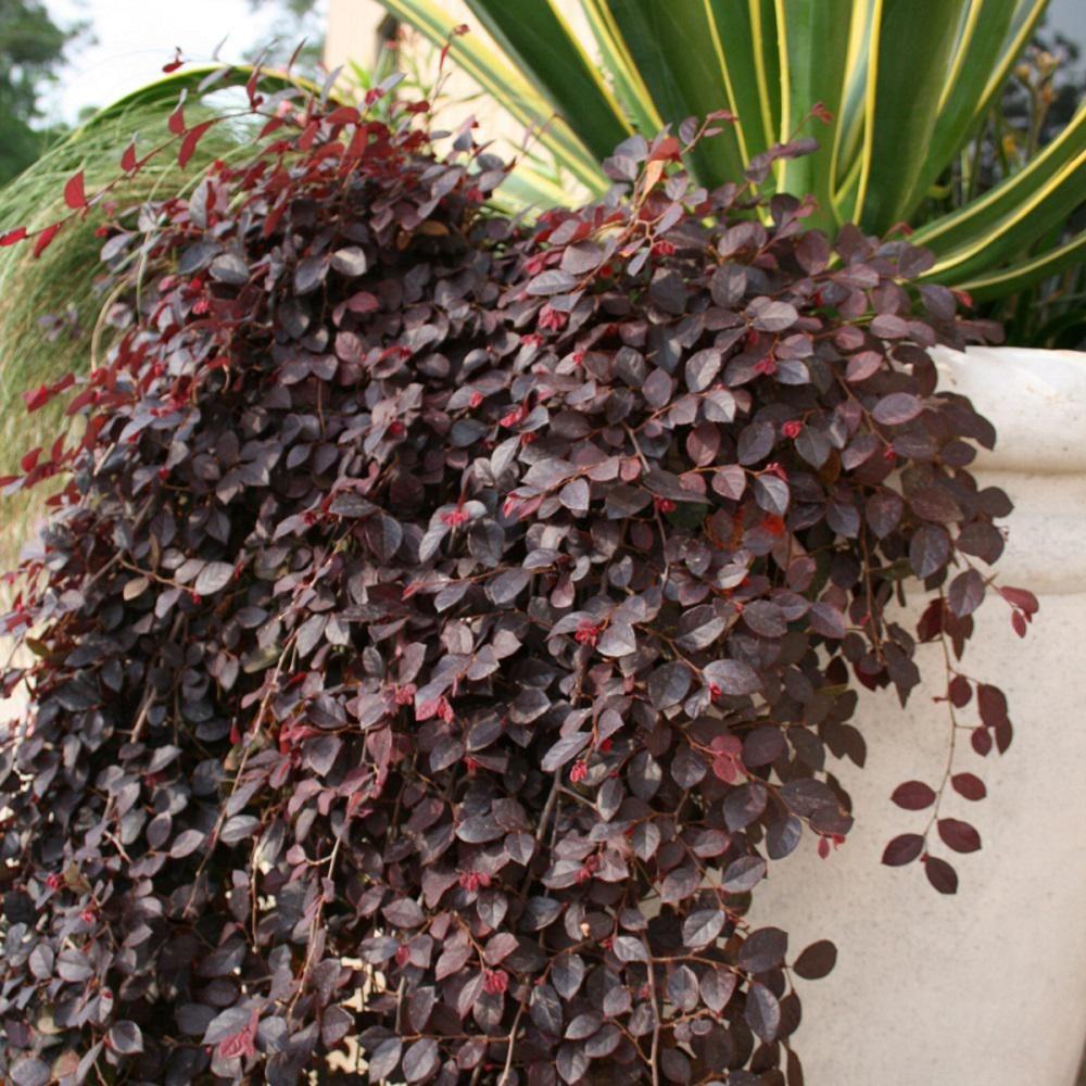 Southern Living Plant Collection 2.5 Qt. Purple Pixie