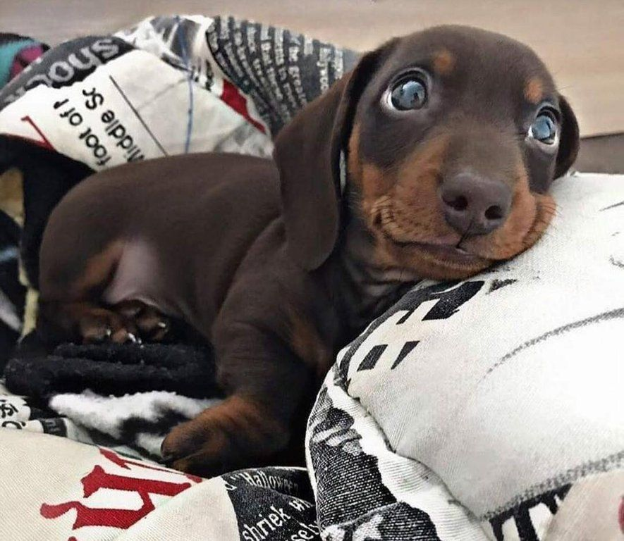 Pin By Patti On Aww Sweet Dachshund Dog Dogs Cute Dogs