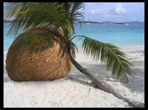 Image result for funny huge coconut ,,
