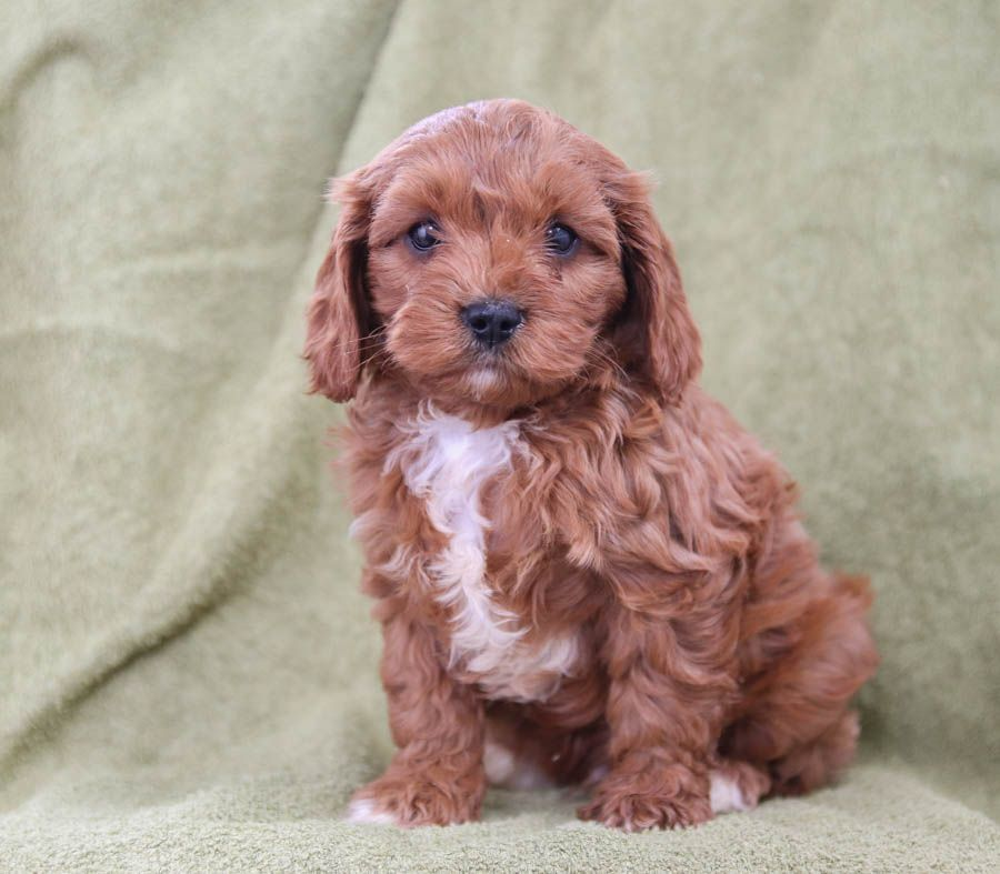 Say Hello To This Adorable Cavapoo Scooter Scooter The