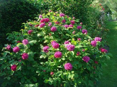 bildergebnis f r damaszener rose rose de resht garden plants pinterest plants and gardens. Black Bedroom Furniture Sets. Home Design Ideas