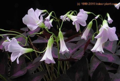 OXALIS...   Shamrock Plant Care | Oxalis triangularis ssp. papilionacea - Lucky Shamrock Plant care