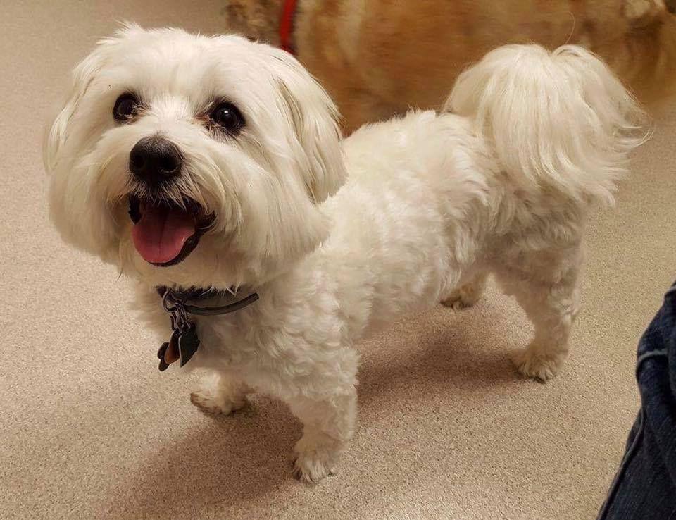 Maltese Dog For Adoption In Thomosboro Il Adn 576065 On Puppyfinder Com Gender Male Age Adult Maltese Dogs Dog Adoption Teacup Puppies Maltese