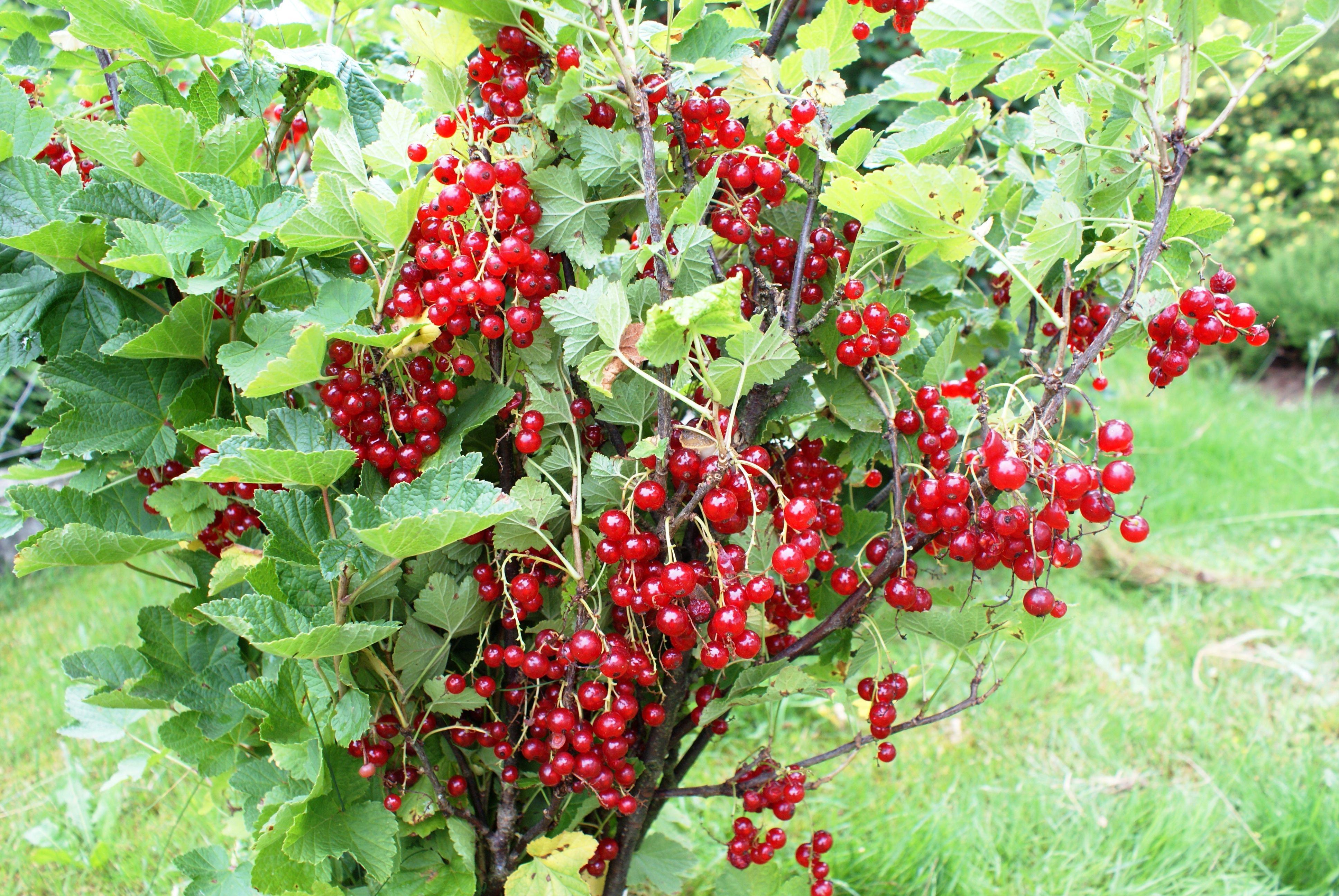 Ribiselstrauch rote Johannisbeere Garten Ideen