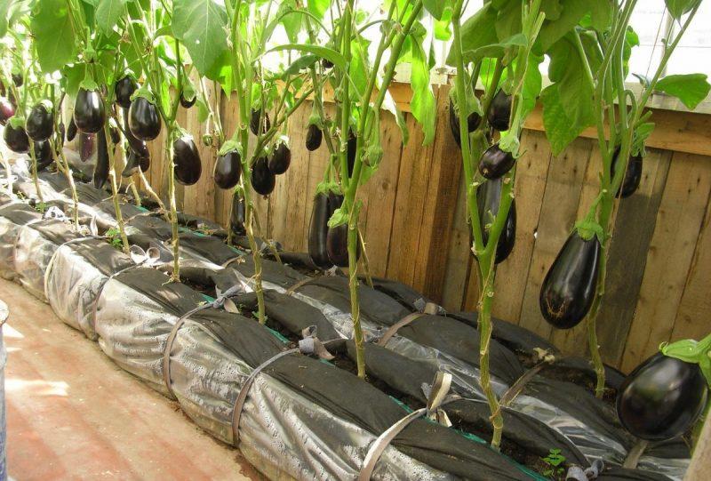 Баклажаны — выращивание и уход в теплице | Выращивание ...