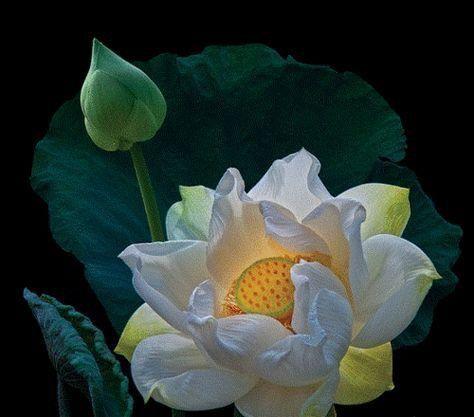 Lotus flower flowers pinterest lotus flower flowers and gardens lotus flower mightylinksfo