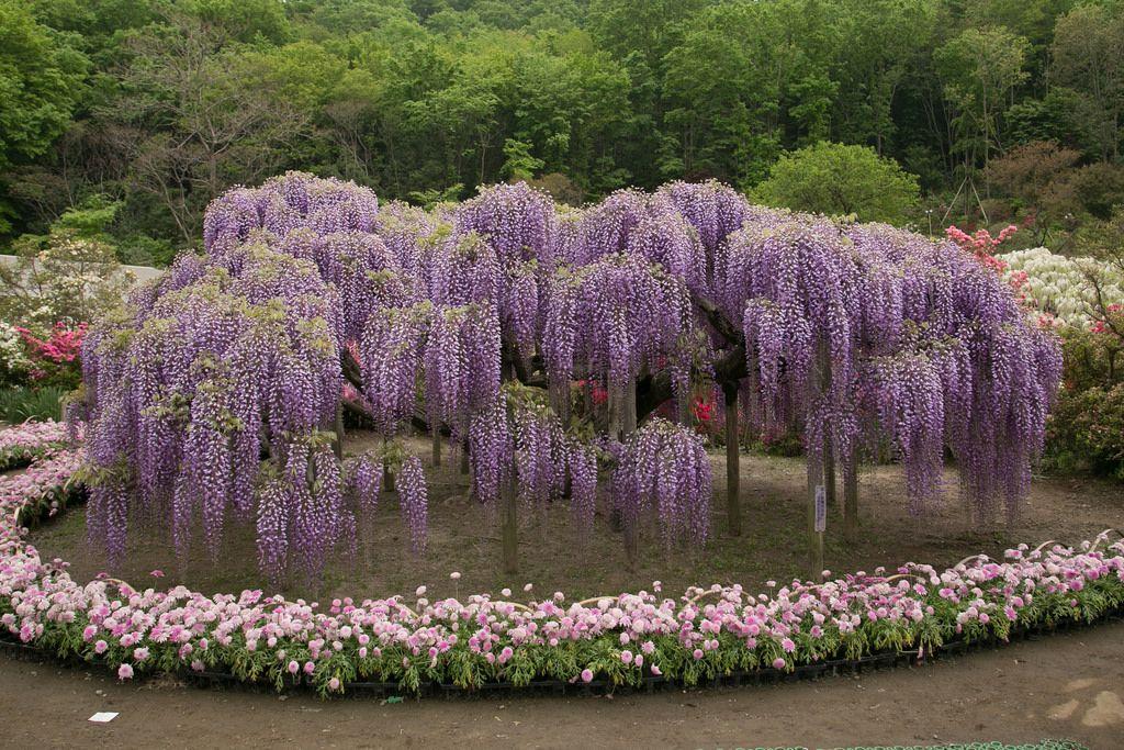 Ashikaga Flower Park Wisteria Japanesesearch Com Miracle Garden Flowering Trees Wisteria