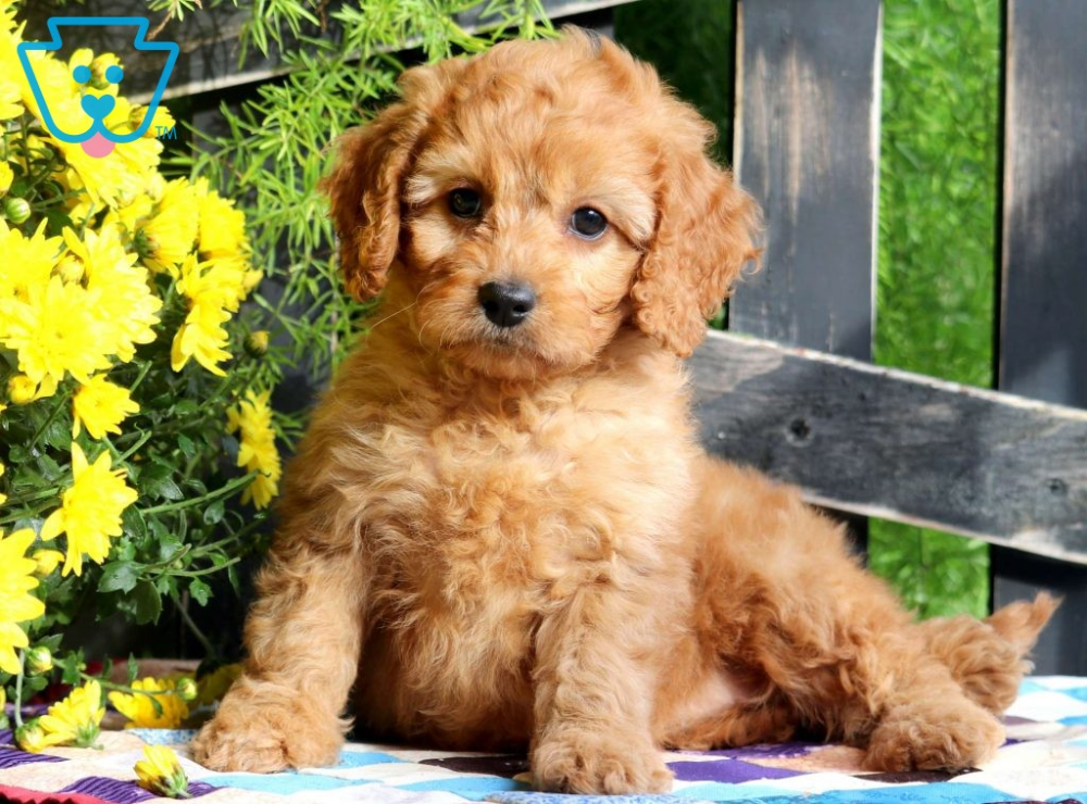 Ashley Cavapoo Puppy For Sale Keystone Puppies Cavapoo Puppies Cavapoo Puppies For Sale Cute Small Dogs