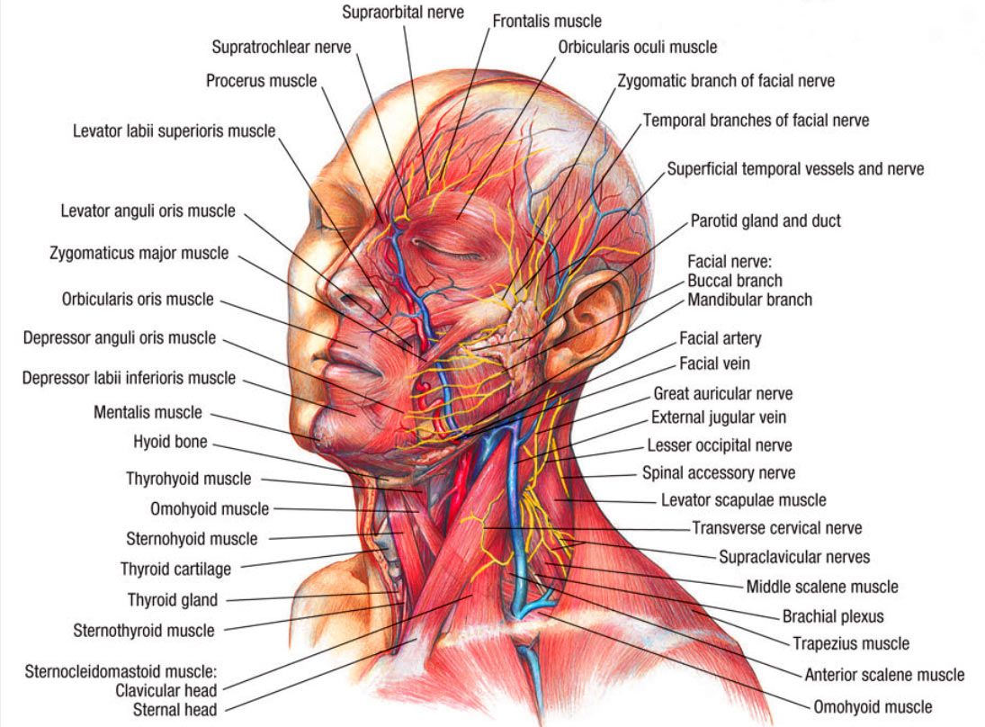 Muscular Anatomy Of The Head And Neck Pinterest