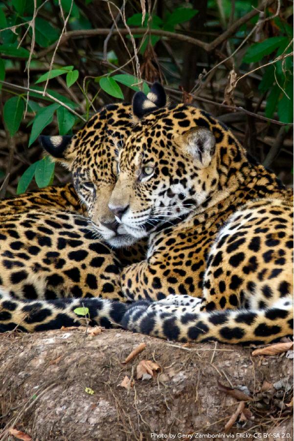 International Jaguar Day Jaguar Animal Large Cats Rainforest Trust
