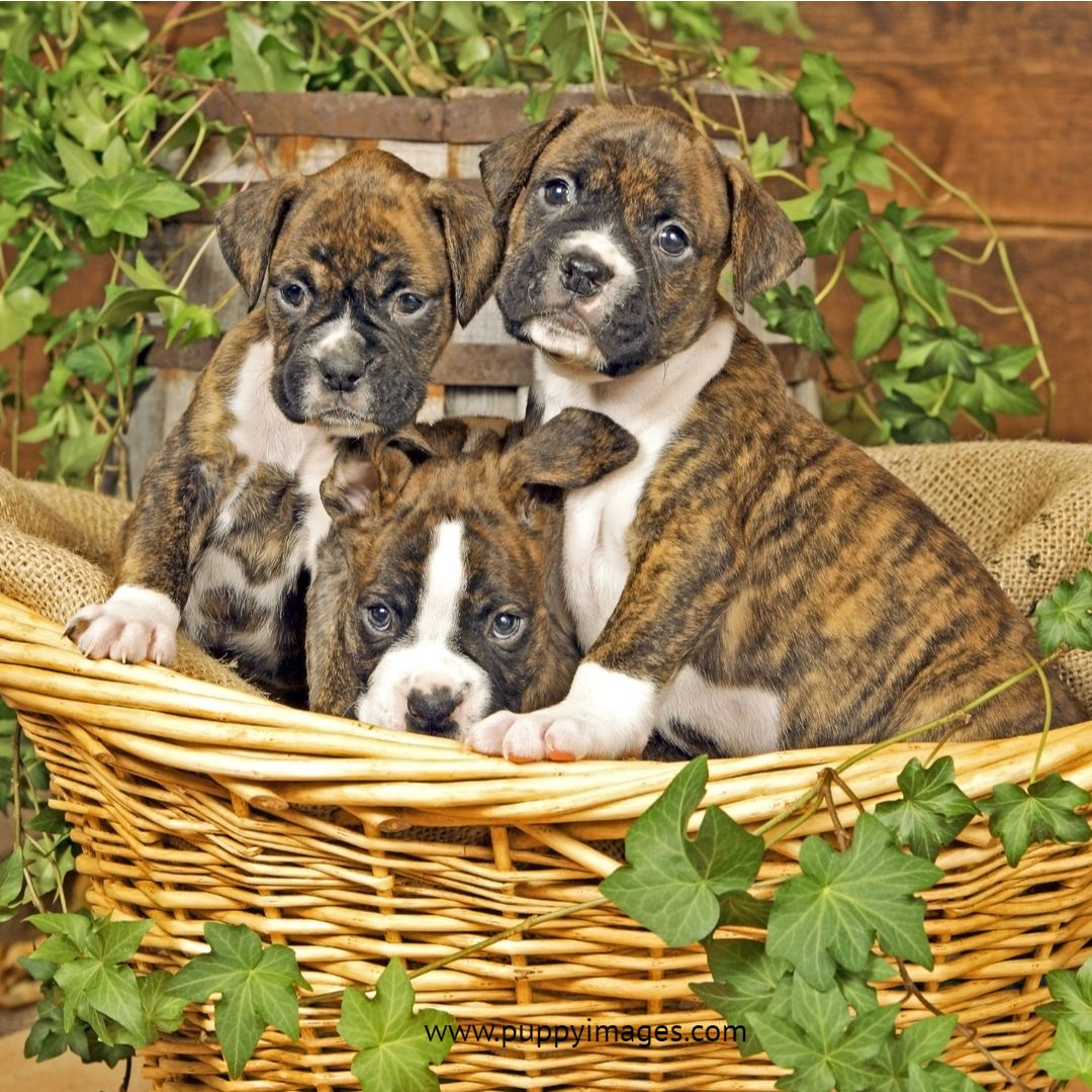 Three Boxer Puppies Sitting Together In Basket Boxer Puppies