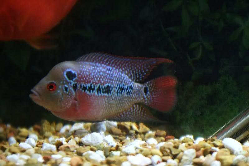 10 Tips Memilih Anakan Ikan Louhan Berkualitas Bagus Ikan Warna Hiasan