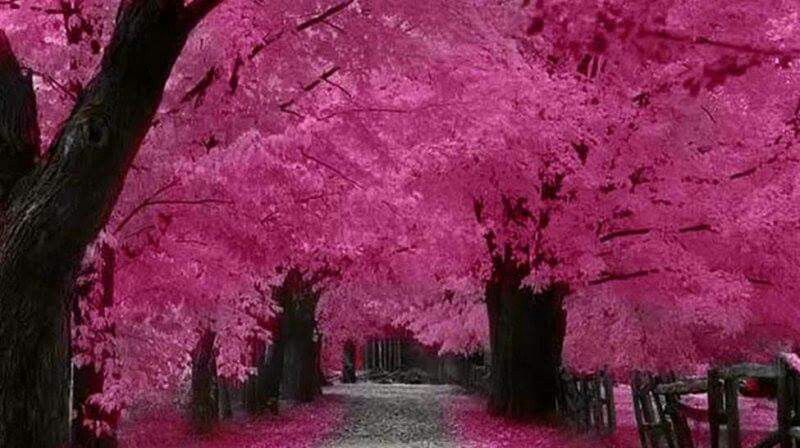 Pin By Archana G K On Nature Pink Trees Beautiful Tree Facebook Cover Photos