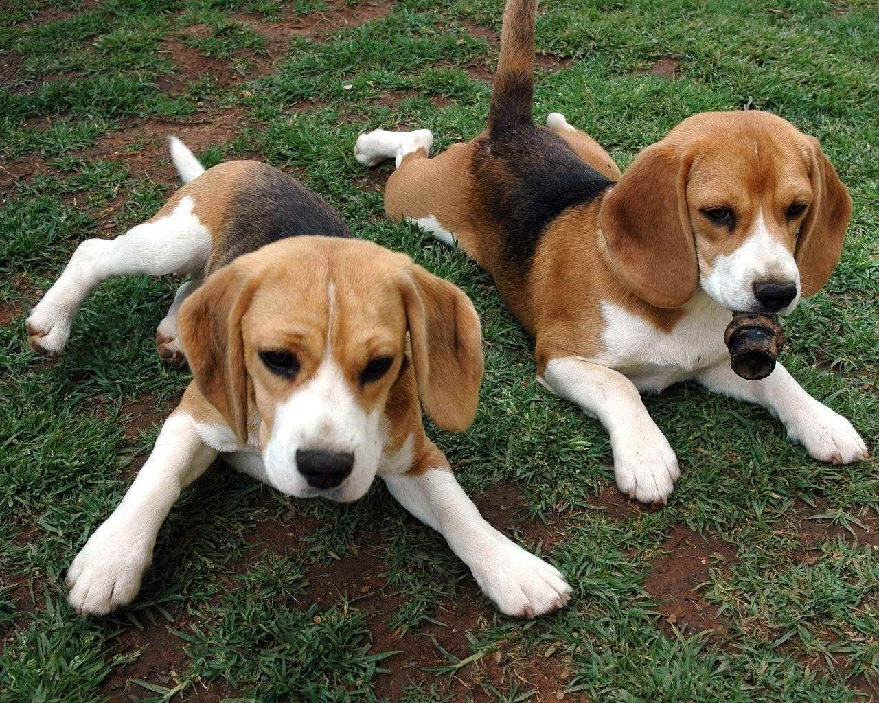 American Foxhound Dog Breed Information Popular Pictures