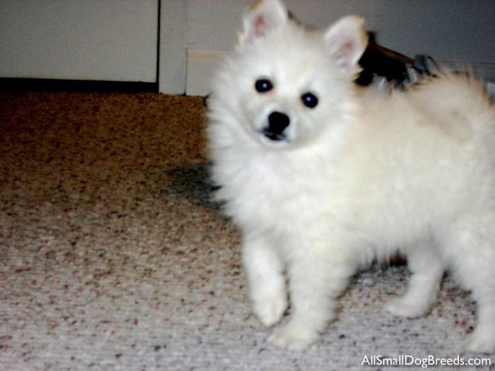 Bella - American Eskimo Dog (Toy) - Small Dogs