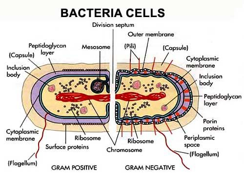 Bacterial Cell Diagram 2d Schematic Diagrams