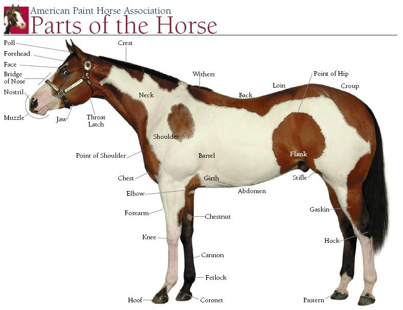 Apha Parts Of Horse Horses Horse Breeds Horse Facts