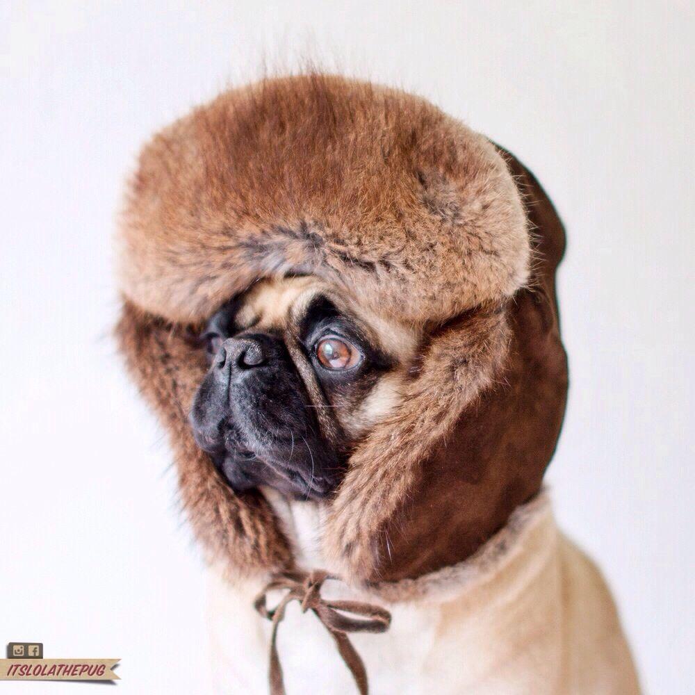 Do you like my new hat? Lovely isn't it itslolathepug