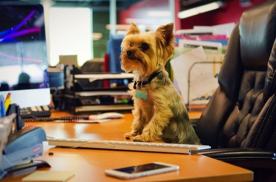 "It's been ""RUFF"" day at office. 🐶 #TakeYourDogToWorkDay #NationalTakeYourDogToWorkDay #InsanelySmartIdeas  #AgencyLife #Dog #Puppy #Cute #Yorkie #Office #WorkingHard #FridayFeeling #OrangeCounty"