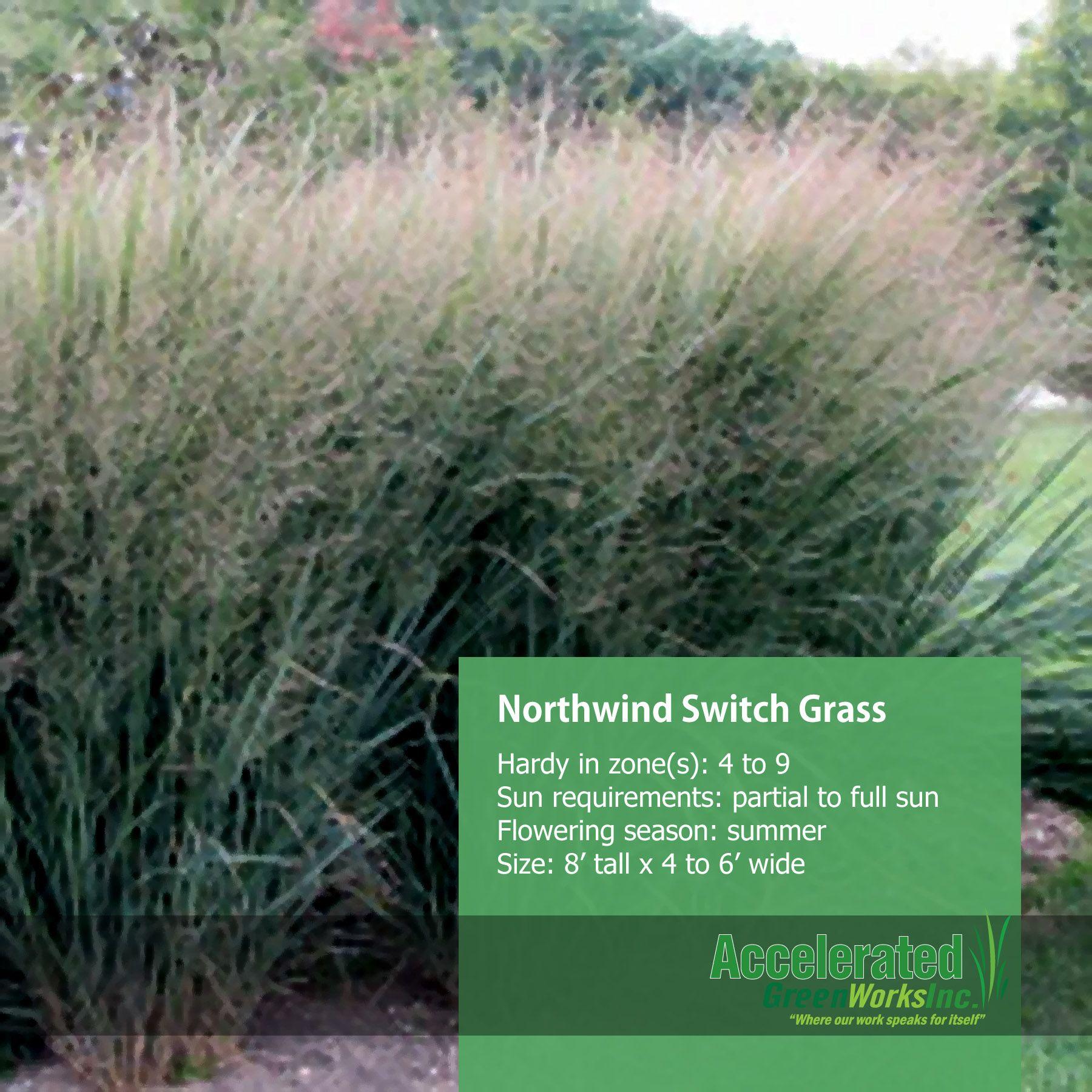Northwind Switch Grass Grass Landscape Projects Landscape