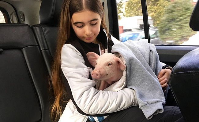 Family Saves Roadside Piglet from Freezing to Death in Blizzard-LUCKY LITTLE PIGLET AND WONDERFUL FAMILY!