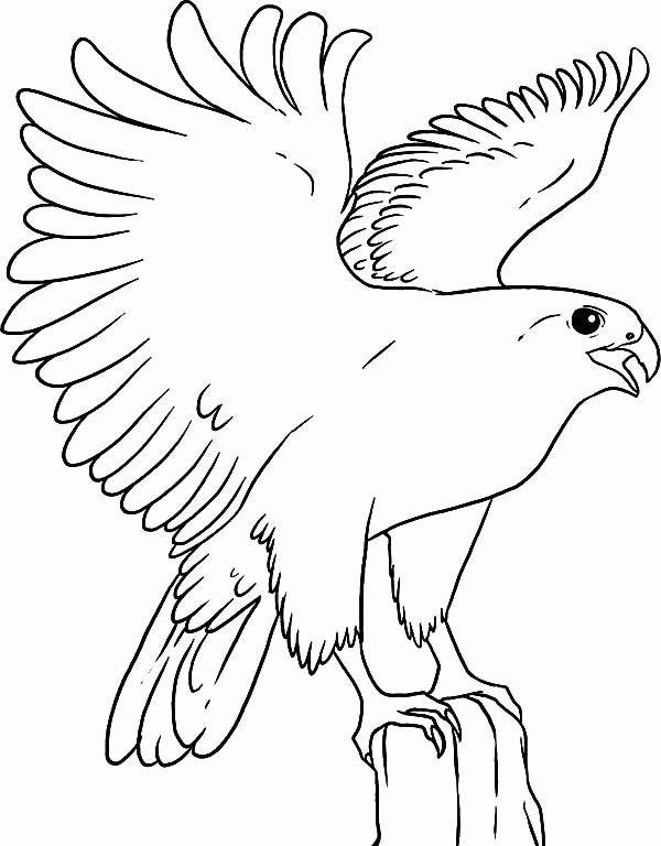 Peregrine Falcon Coloring Page Fresh Falcon Bird in 2020 ...
