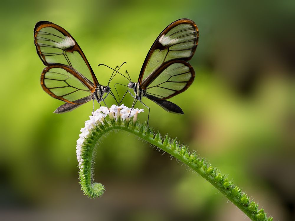 Glasswinged Butterflies Photo by Stivale AA National